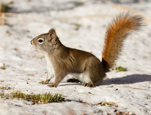 Critter Control- Steer Those Squirrels Away with Raven Termite & Pest Control