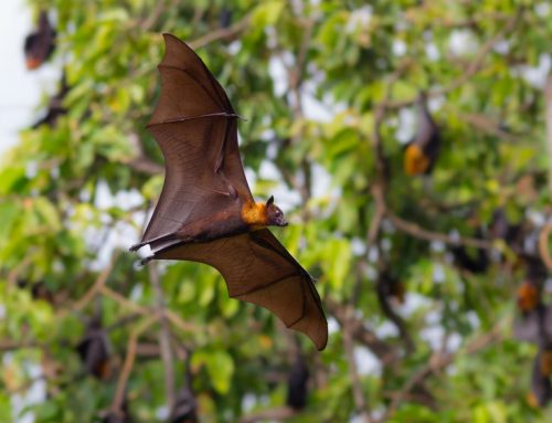 What's That Sound? Give Those Bats the Boot with Our Bat Removal Services