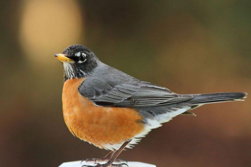 Bird Removal | Raven Termite & Pest Control