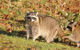 Control Raccoons | Raven Termite and Pest Control