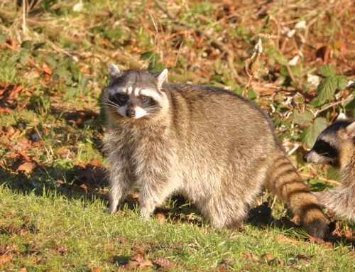Why is it Important to Control Raccoons