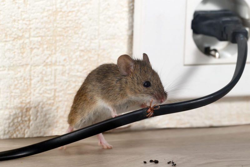 exterminator in annapolis md - raven termite