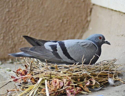 Why Bird Control is Important for Your Home