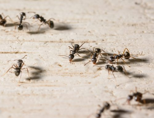 Why Ants in Your Home Can be a Year-Round Problem