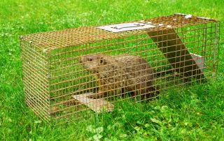 get rid of groundhogs -- raven termite and pest control