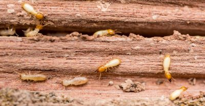 exterminators in Carroll County -- Raven Termite and Pest Control