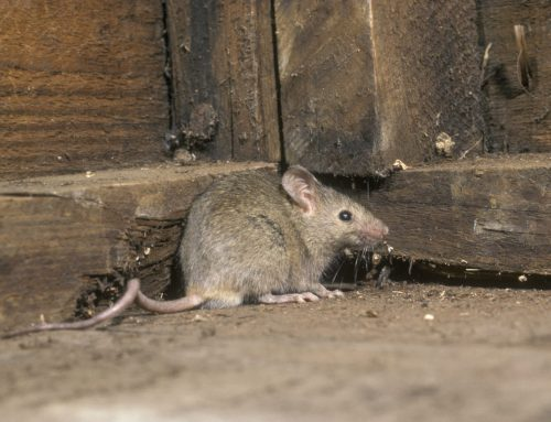 Cold Weather Brings Mice Indoors