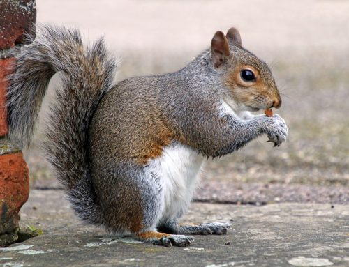 Rodent Control Prevents Squirrel Damage