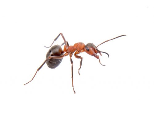What to Do When Pavement Ants Come Indoors