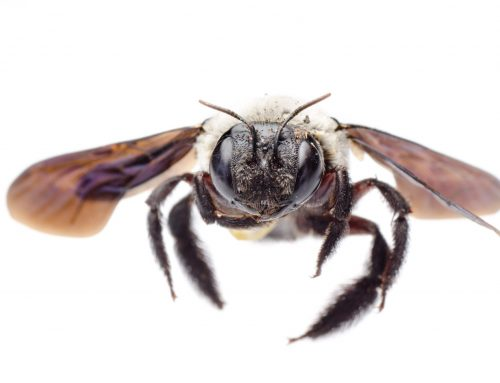 Do Carpenter Bees Eat Wood?