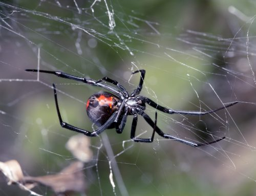 Exterminators Eliminate Poisonous Spider Infestations