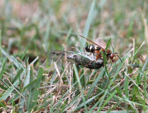 Cicada Killer Wasps: Identify and Control