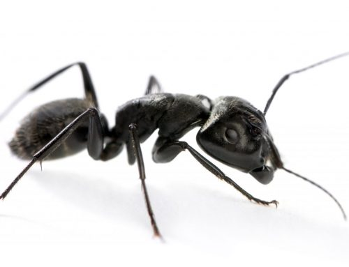 Pest Control Eliminates Carpenter Ants