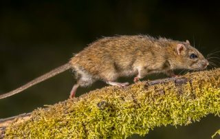 rodent control in Baltimore --Raven Termite and Pest Control
