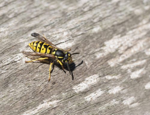 Exterminators Remove Yellow Jacket Nests