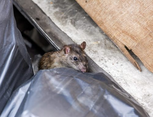 See a Rat? Call Rodent Control in Baltimore
