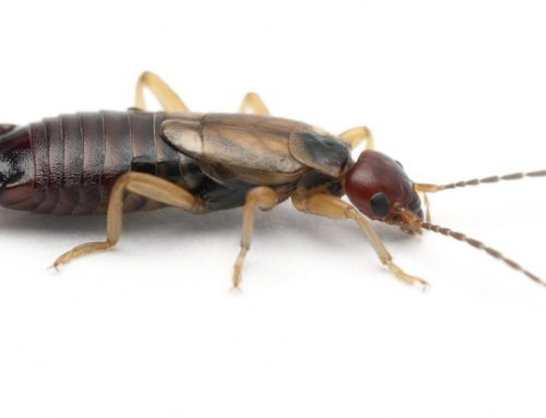 Earwigs: Myths and Facts
