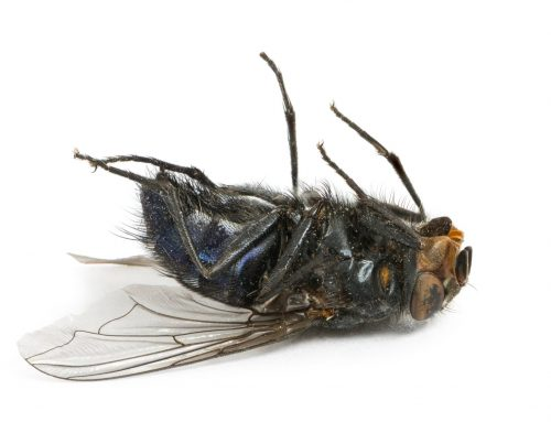 Beware of Cluster Flies This Fall
