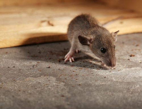 Exterminators Prevent Rodent Problems