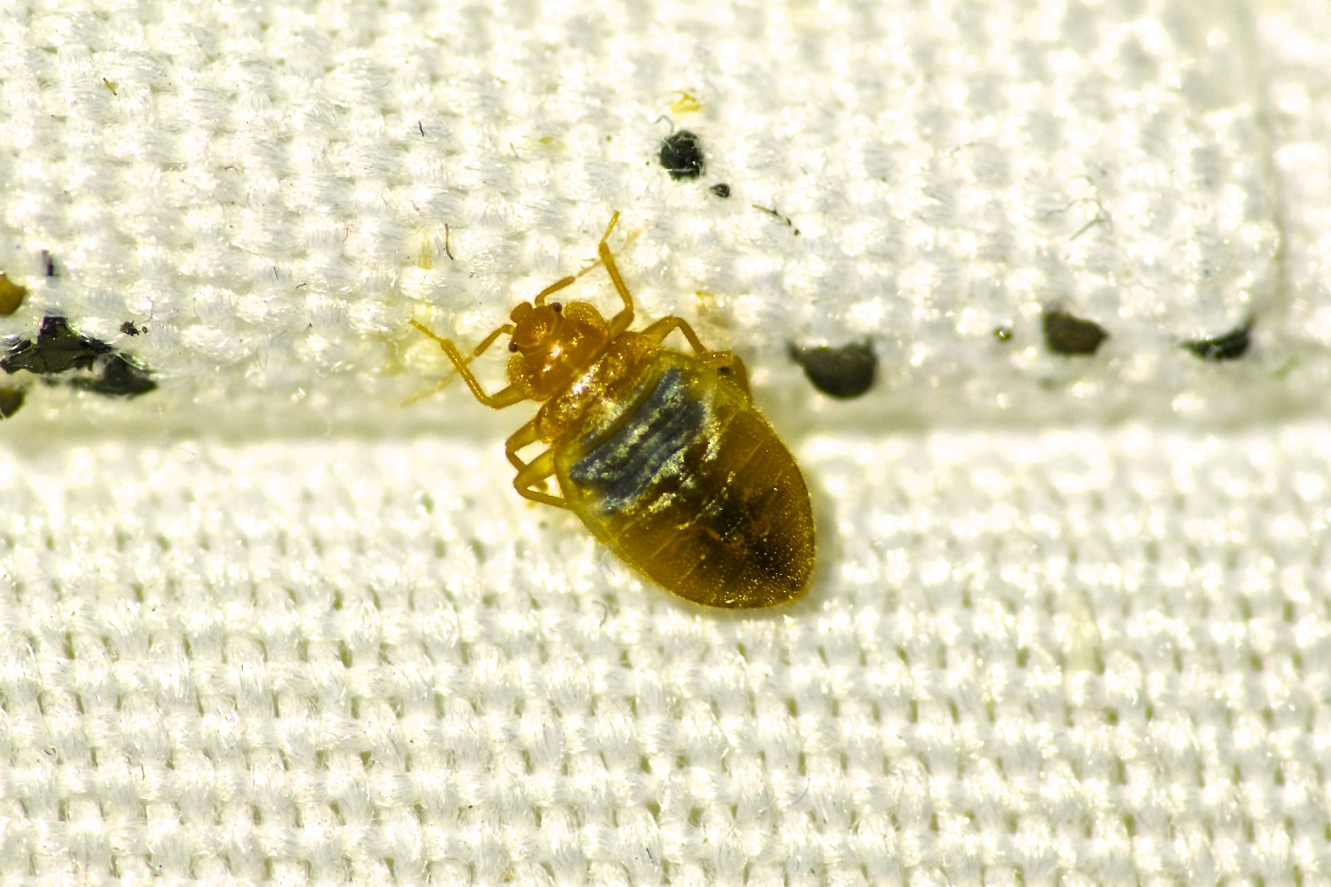 bed bug exterminator in Carroll County -- Raven Termite and Pest Control