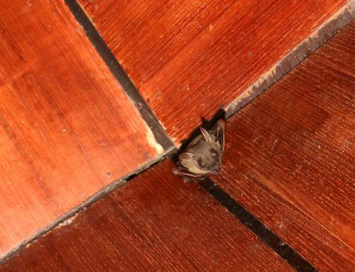 Top Exterminator for Bat Exclusions
