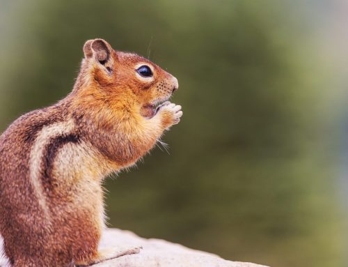 Pest Control Services for Chipmunks