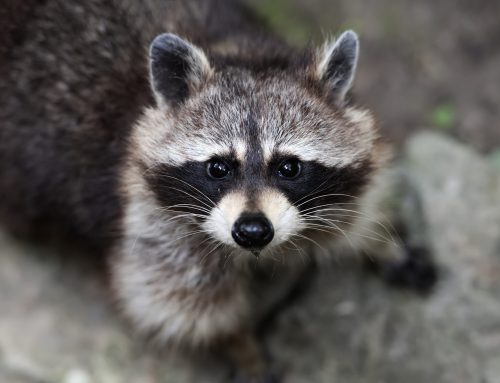 Wildlife Control Stops Raccoon Damage