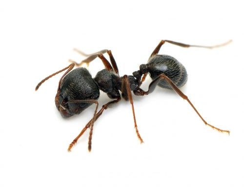 Carpenter Ants Require Professional Pest Control
