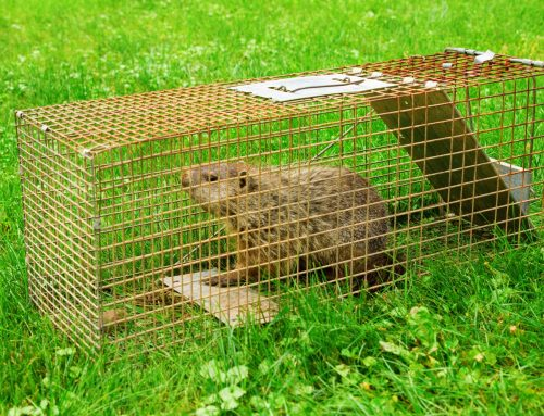 Stop Groundhogs from Destroying Your Yard!