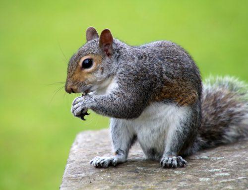 Pest Control to Stop Squirrel Damage