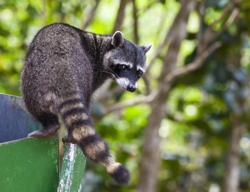 Raccoons? Call an Exterminator