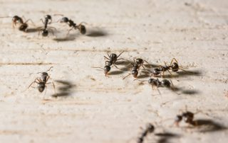 pest control in bowie -- Raven Termite and Pest Control