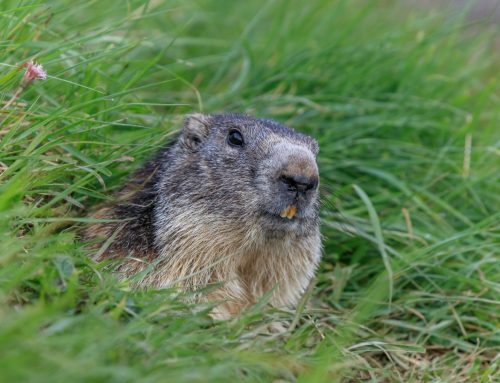Pest Control to Handle Groundhogs