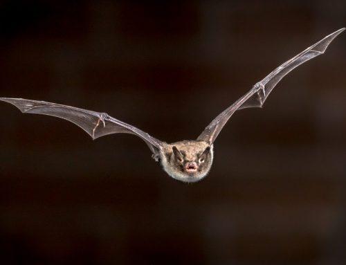 Bat Exclusions Need Expert Exterminators