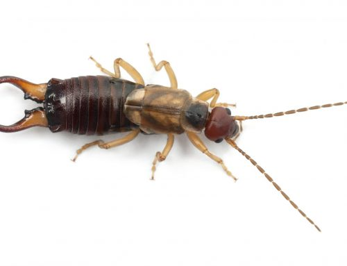 Basement Pests: Learn About Earwigs