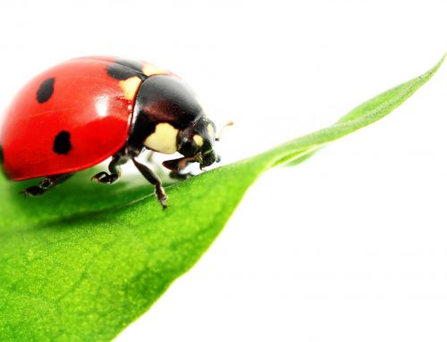 Don't Let Ladybugs Overwinter in Your Home