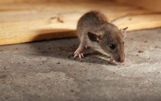rodent control in Baltimore -- Raven Termite and Pest Control