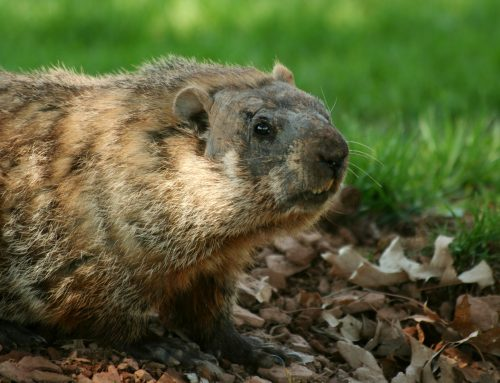 Get Rid of Groundhogs Before They Hibernate!