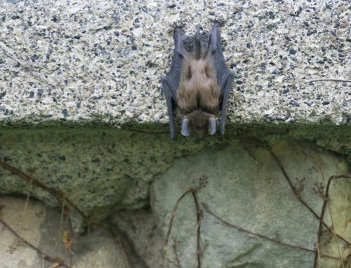 Exterminators Safely Remove Bats From Your Home