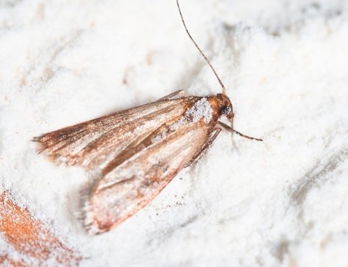 What to do if You Have Indianmeal Moths
