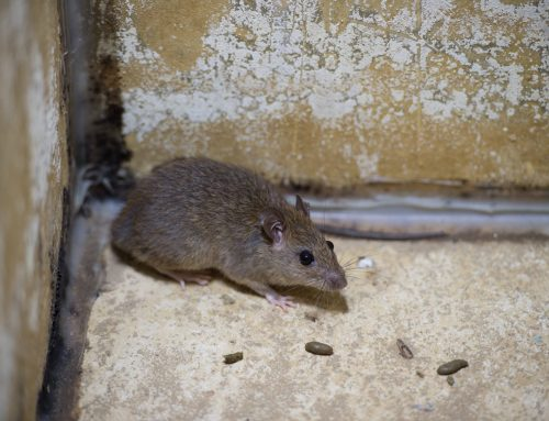 Winter Rodent Control in Baltimore