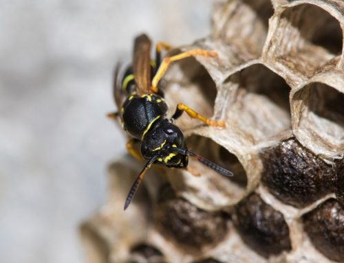 Learn More About Paper Wasps