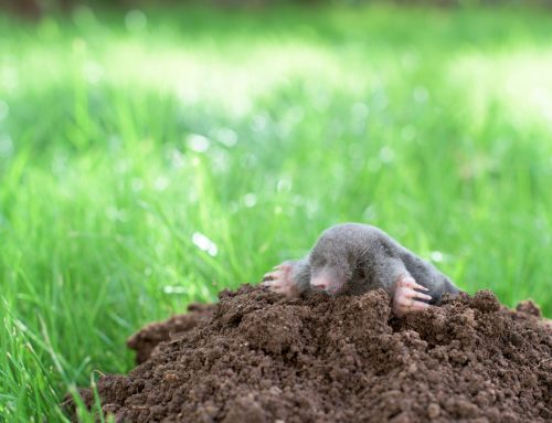 Stop Moles with Pest Control Services