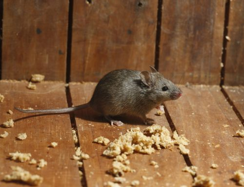 Signs of Mice in Your Walls