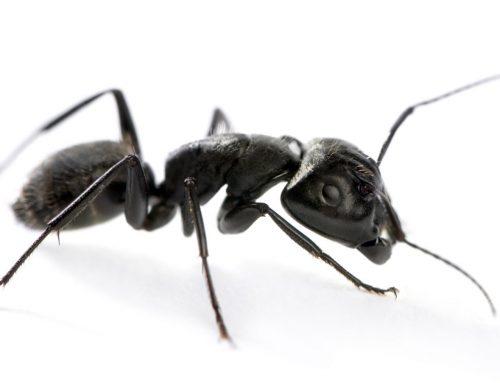 Exterminators to Eliminate Carpenter Ants