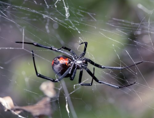 Are Black Widow Spiders Poisonous?