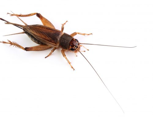 Pest Control for House Crickets