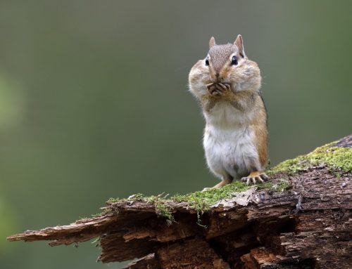 Are Chipmunks Driving You Crazy?