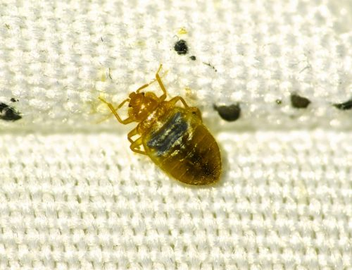 Bed Bugs Won't Go Away on Their Own