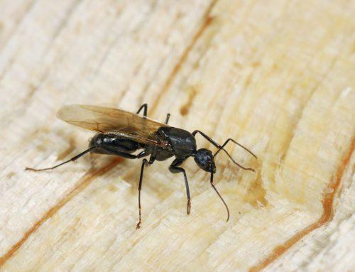 What are Carpenter Ants vs. Termites?